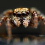 Jumping spider closeup — Stock Photo
