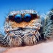 Closeup of Marpissa muscosa jumping spider head — Stock Photo