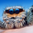 图库照片: Closeup of Marpissmuscosjumping spider head