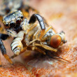 图库照片: Closeup of small jumping spider eating fly