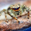 Closeup of Marpissmuscosjumping spider on leaf — Stok Fotoğraf #27390751