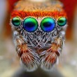 Mediterranejumping spider close up — Stock fotografie #27390783