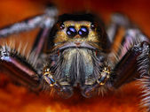 Hyllus diardy Biggest jumping spider in the world, 40mm leg span — Stock Photo