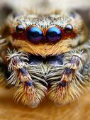 Marpissa muscosa jumping spider head closeup — Stock Photo