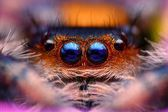 Jumping spider Phidippus regius head close up — Foto Stock