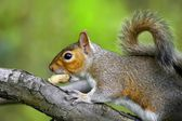 Grey squirrel on branch eating a nut — Stock Photo