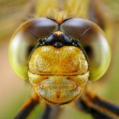 Portrait of Dragonfly — Stock Photo