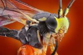 Extreme sharp and detailed macro portrait of small wasp taken with microscope objective stacked from many shots into one very sharp photo — Stock Photo