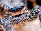 Closeup of Marpissa muscosa jumping spider head — Stock Photo