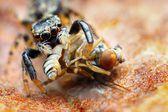 Zbliżenie małe skoki pająk jedzenie mucha — Zdjęcie stockowe
