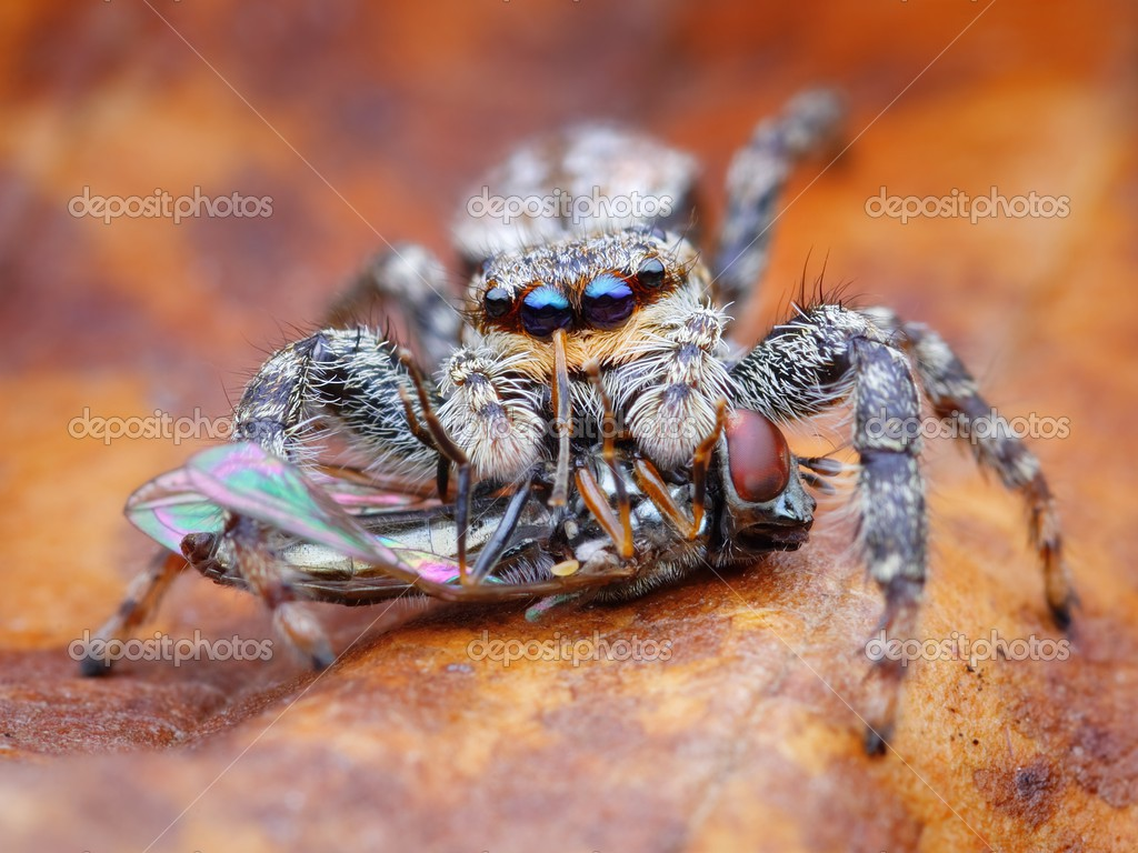 Spider eating fly clipart