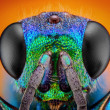 Постер, плакат: Detailed study of 6 mm Cuckoo wasp
