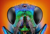 Detailed study of 6 mm Cuckoo wasp — Stock Photo