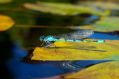 Blue damselfly — Stock Photo