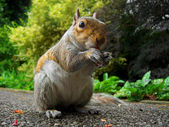 Curious squirrel eating — Stock Photo