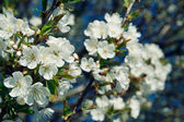 Apple blossom — Stockfoto