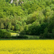 Rape Field — Stock Photo #37073919