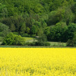 Field of Oilseed Rape Canola with Tree Line in Distance — Stock Photo