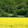 Stock Photo: Field of Oilseed Rape Canolwith Tree Line in Distance