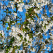 Flowering Trees Against Blue Sky — Stock Photo