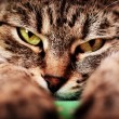 Cat with green eyes on — Stock Photo #31196125
