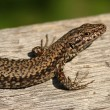 Foto de Stock  : Lizard detail