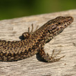 Stockfoto: Lizard detail