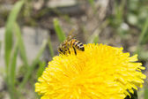 Bee on yellow dandelion flowers — Stock Photo