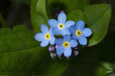 Forget me not macro — Stock Photo