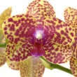 Branch orchid — Foto Stock