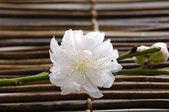 Cherry bloom on bamboo mat — Stock Photo