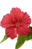 Beautiful red hibiscus — Stock Photo