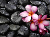 Frangipani and black pebbles — Stock Photo