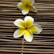 Stock Photo: Frangipani flower