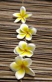 Fiori di frangipane bella — Foto Stock