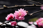 A sprig of cherry blossom — Stock Photo