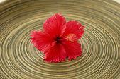 ハイビスカスの花 — ストック写真