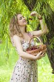 Genç kadın bir sepet kiraz — Stok fotoğraf