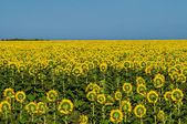 Field of sunflowers in the summer — Stock Photo