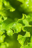Lettuce growing in the garden — Foto de Stock