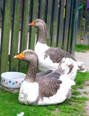 Geese on the green grass — Stock Photo