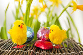 Easter Chicks Debating Over Chocolate — Stock Photo