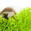 Foto Stock: Garden snail is eating lettuce leaves