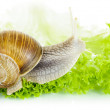 Garden snail on lettuce leaf — Stock Photo