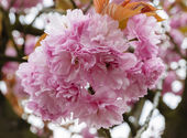 Sakura blossoms — Stock Photo
