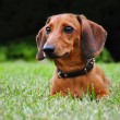 Stock Photo: Miniature dachshund dog in park
