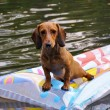 Stock Photo: Wet miniature dachshund dog in water