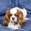 Spaniel dog lying on couch — Stock Photo