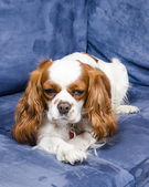 Spaniel dog lying on couch — Foto de Stock