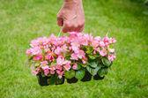 Mano sostiene el envase de la begonia flor rosa en jardín — Foto de Stock